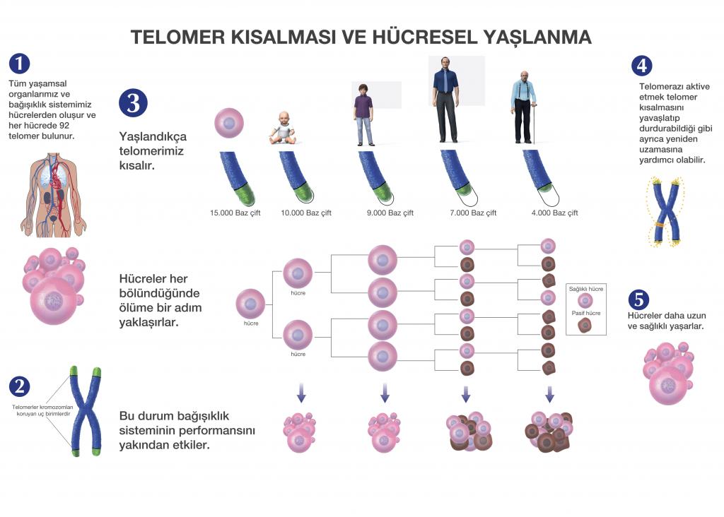 telomer kısalması ve hücresel yaşlanma