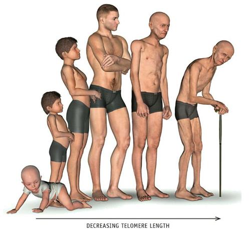 yaşlanma ve azalan telomer uzunlukları